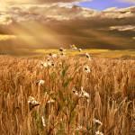 """""""Sun Ripe Corn"""" by deljenphotography"""