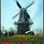 """Red Tulips with the Windmill"" by nicksphoto"