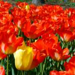"""Full Blooming Red Tulips"" by nicksphoto"