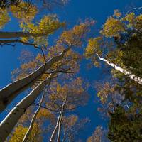 Tall trees and Blue Sky