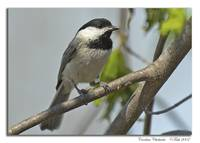 Taking a Break --Carolina Chickadee