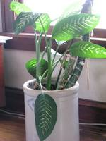 RUBBER PLANT IN A KANSAS CROCK