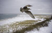 Winter Seagull (Wide)