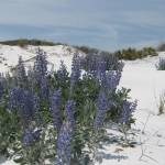 """Blue Lupine in South Walton"" by Waltonoutdoors"