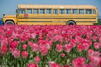 Bus with Tulips