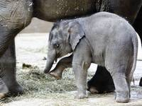 Baby Elephant Beco plays indoors at Columbus Zoo