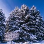 """""""Frosted Evergreens and Blue Sky"""" by johnmclaird"""