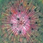 """""""Dandelion Details"""" by shelshots"""