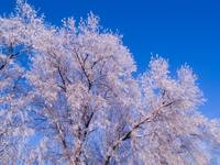 Frosted Tree Tops