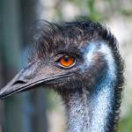 """Emu Hairdo"" by catmca"