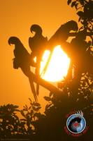 WPT - Macaws at Sundown