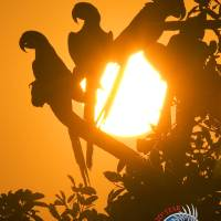 WPT - Macaws at Sundown Art Prints & Posters by World Parrot Trust