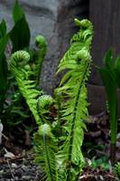 A Gathering of Ferns