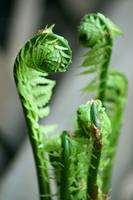 First Ferns