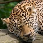 """Leopard Sleeping"" by vphowe"