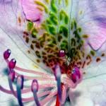 """""""Candylike Rhody"""" by bavosiphotoart"""