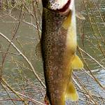 """""""Apache Brown Trout"""" by rayjacque"""