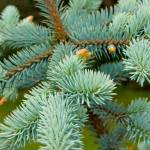 """Pine type bush - Edinburgh Botanic Gardens"" by dave_finlayson"