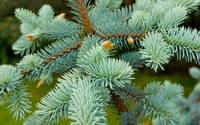 Pine type bush - Edinburgh Botanic Gardens