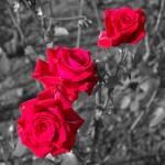 """Roses in Starbank Park"" by dave_finlayson"