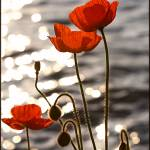 """""""Poppies in the Sunset on Lake Geneva"""" by PearBiter"""