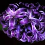 """Violet Hyacinth"" by budo"