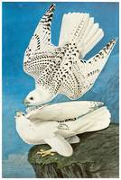 Gyrfalcon by John James Audubon