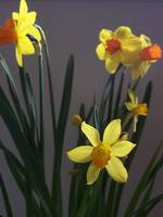 Narcissus Jet Fire 06