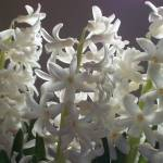 """Hyacinth - White 03"" by Laura-Michele"