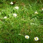 """Daisies in grass"" by Laura-Michele"