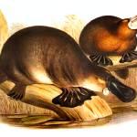 """ornithorhynchus anatinus"" by markkumurto"