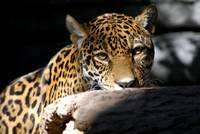 beautiful jaguar