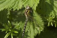 Female Hairy Dragonfly