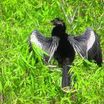 """Male Anhinga"" by mrphotographer1"
