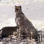"""Resting Cheetahs"" by JMcQ"