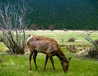 Young Elk Grazing in Spring