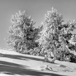"""Winter in Black and White/double trees"" by SamSherman"