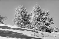 Winter in Black and White/double trees