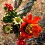 """Cactus Flower"" by doncon402"