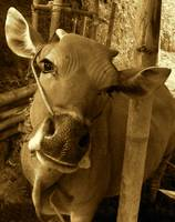 Balinese Cow
