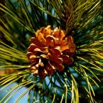 """""""Pine Cone"""" by GG-SMITH"""