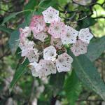 """Mountain Laurel"" by PhotosbyNeal"