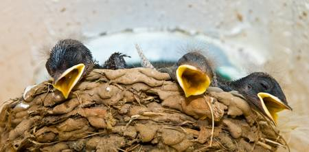 3 Barn Swallow Chicks Waiting On A Meal