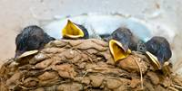 Barn Swallow Chicks Lounging In The Nest