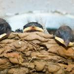 """5 Barn Swallow Chicks Relaxing In The Nest"" by tex"