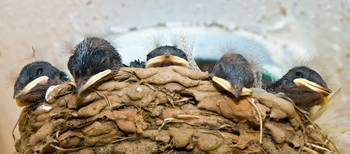 5 Barn Swallow Chicks Relaxing In The Nest