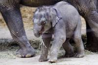 Baby Elephant  Beco at Columbus Zoo