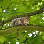 """""""Posing Squirrel"""" by HeatherCampion"""