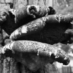 """""""Tree Mushrooms"""" by evegieser"""