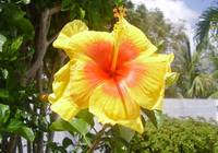 yellowtrinihibiscus[c]2 copy